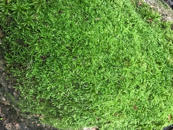 Moss, live sheet moss, 64 square inches, 8 x 8 inches