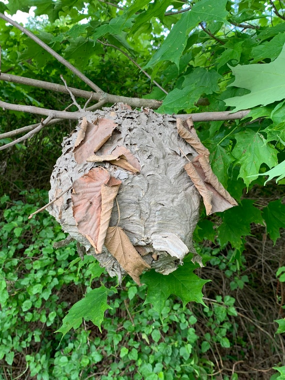 Wasp Nest, Bees Nest, Paper Wasp Nest
