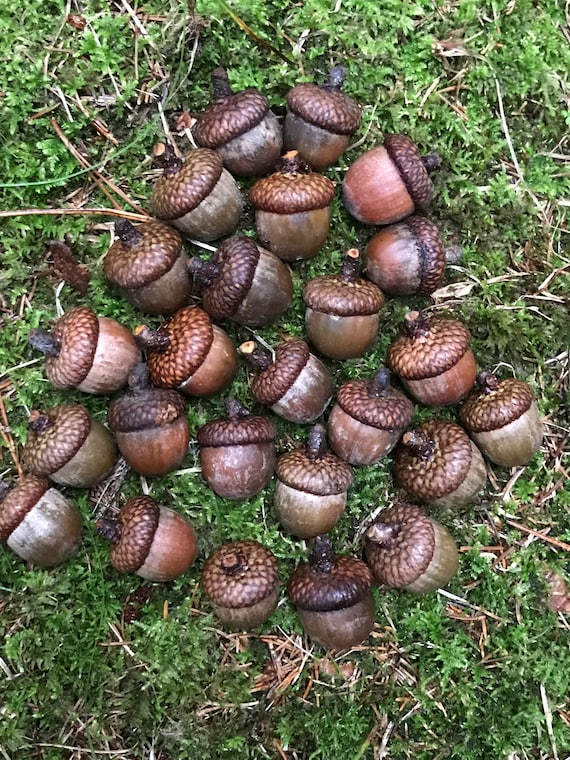 Acorns, Red Oak,  25 count, Large in Size