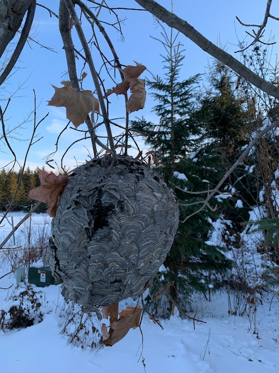 Bees Nest, Paper Wasp, Bees Hive, volley ball size