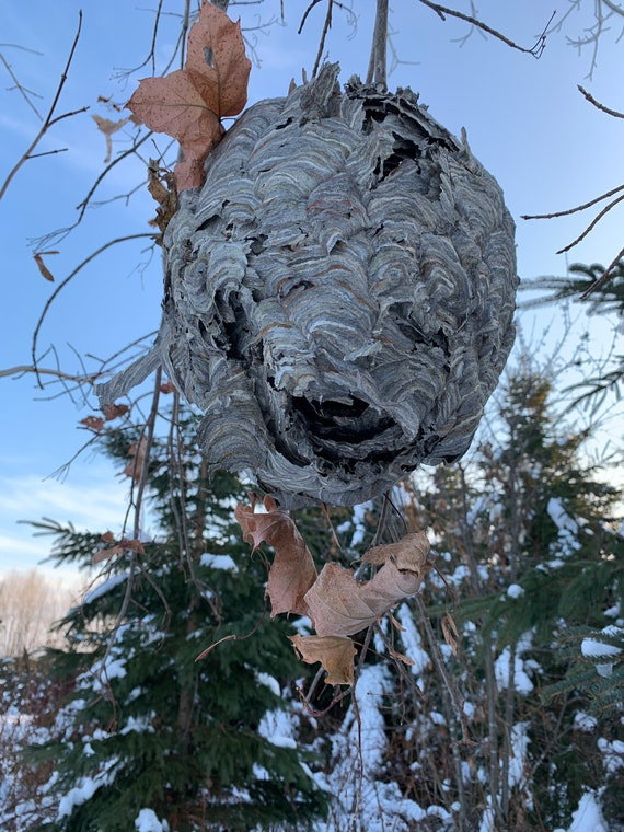 Paper Wasp Nest, Bees Nest, Wasp Nest