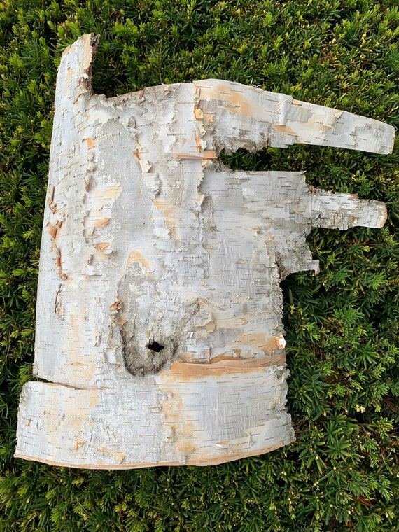White Birch Bark, approximately 19 inches x 18 inches