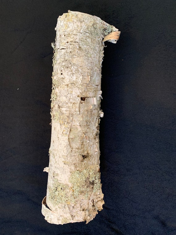 White Birch Tube with misty green lichens, approximately 16 inches long and about 4 inches diameter