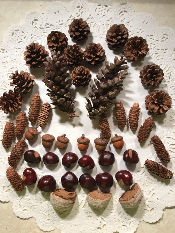 Pine Cones, Spruce cones, acorns, polypore gonks from white birch with a chestnut sampling
