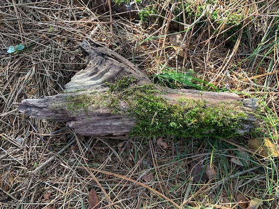 Moss covered Log, 13 inches x 5 inches