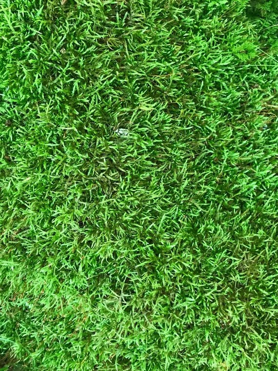 Moss, Live Sheet Moss, 4 pieces of 4 x 4 square inches of freshly gathered moss