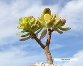 Crassula Ovata variegated Lemon and lime Jade bonsai house office plant 5 quot to 6 quot