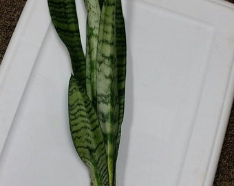 """Very LARGE 15"""" Snake Plant, Mother-In-Law's Tongue - Sanseveria Healthy- Bare Root Plant ***FREE SHIPPING!"""