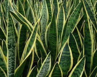 """15""""+ -Snake Plant, Mother-In-Law's Tongue - Sanseveria Healthy- Bare Root Plant ***FREE SHIPPING!"""