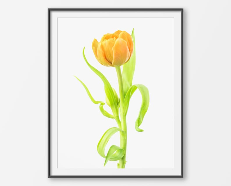 photo regarding Tulip Printable known as Tulip Printable Wall Artwork, Orange Tulip Flower Pictures, Prompt Obtain, Spring Bouquets, Floral Print, Botanical, Kitchen area Decor