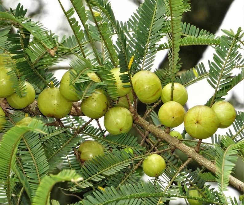indian gooseberry tree amla herb indian goose berry amla tree amla  gooseberry seeds for growing