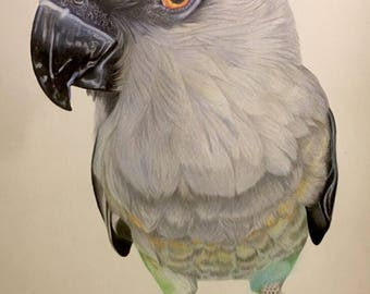 Red bellied parrot: (Poicephalus) Colored Pencil