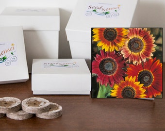 Red evening sun sunflower seed kit, large flower, balcony, terrace, organic biodegradable gift kit for balcony, kitchen window, small pack