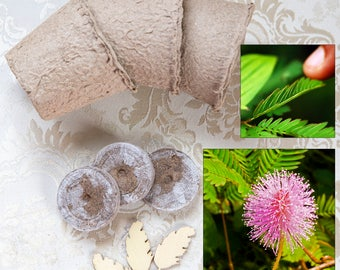 Sensitive plant growing seed kit Mimosa pudica, seed kit for moving touch-me-not shy plant, delicate sleepy rare flower plant, gift kit