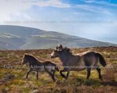 The Spirit of Exmoor! - Square Exmoor Pony Photographic Print