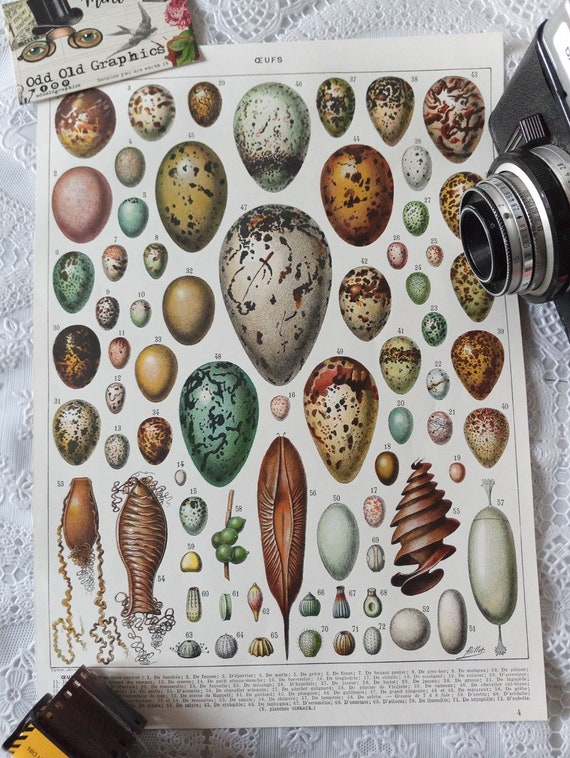 Poster EGGS birds fishes Squale vintage  french illustration book old authentic 1932 No replica