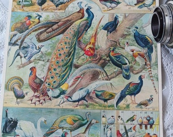 Vintage authentic 1932 Birds poster Ornithology Ornithologist Peacock Pheasant Swan Hen Goose authentic illustration from French period