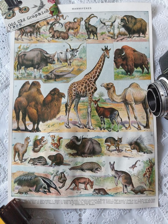 vintage authentic 1932 poster animals number 2 mammals color giraffe camel bison kangaroo etc authentic vintage illustration
