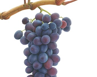 Grapes Limited Edition Giclee Print