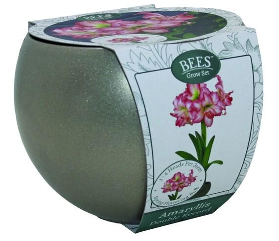 2 Picotee Amaryllis Bulbs Single Blooming Easy To Grow Flower Bonsai Decor DIY