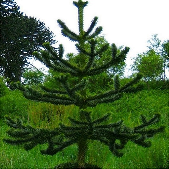 Monkey Puzzle Tree 3L Pot High Quality Plant Araucaria Araucana