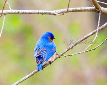 Showing off pretty feathers, Eastern bluebird, Bird photography, wildlife photography, metal print, bird art, canvas wrap, photo print