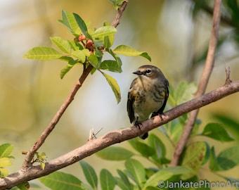 Yellow-rumped Warbler, Bird photography, wildlife nature art, metal print, bird art, canvas wrap, photo print, free shipping