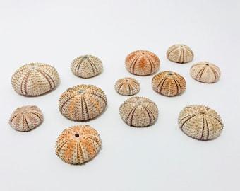 Sea Urchin, pink Urchin shell, shell pink, Sea Urchin, sea urchin skeleton test, curiosity cabinet, taxidermy, sea urchin, sea shell