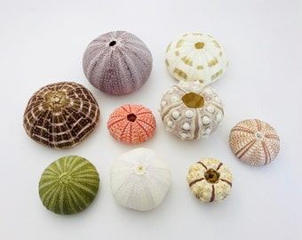 Sea Urchin, 9 pcs, shell, pink Sea Urchin white Urchin, giant sea urchin, purple sea urchin, Urchin, seashell, curiosity cabinet, taxidermy