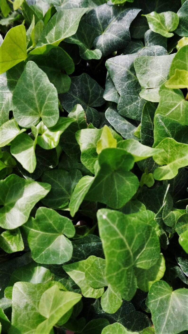 Baltic Ivy (Hedera Helix 'Baltic'): miniature garden, fairy garden, living  plant, dwarf plant