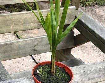 """5 x Windmill Palm Tree Seedling - """"Trachycarpus fortunei"""" - 35 - 45cm tall"""