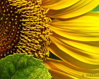 "8"" x 10"" Sunflower Photograph"