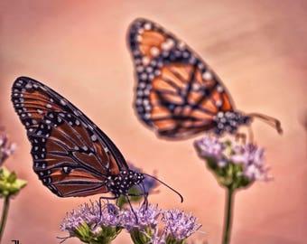 Monarchs - Wall Art - Photography - Nature Photography - Butterflies - Home Decor