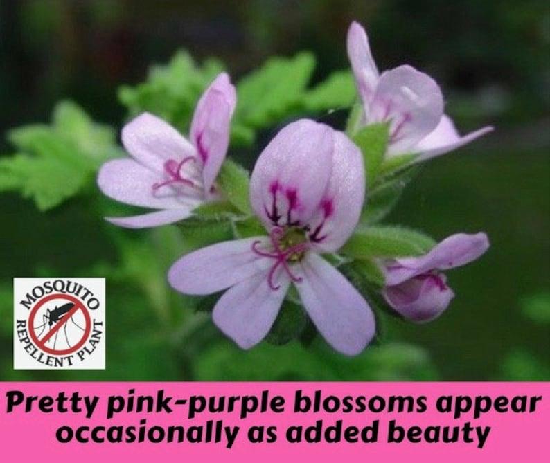 Two Large Live Plants Mosquito Repellent Plants Citronella Etsy