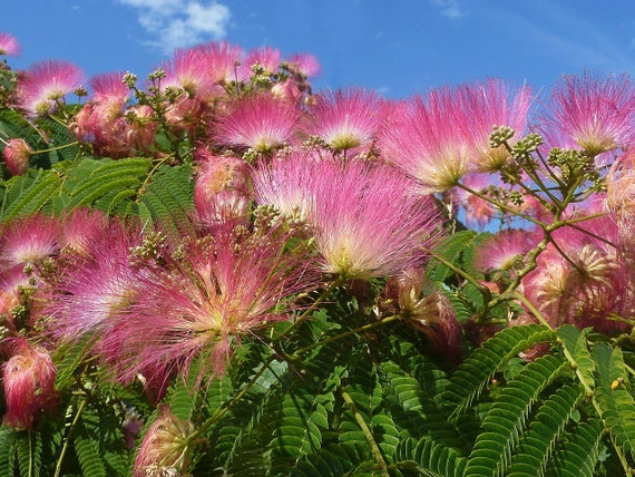15 Mimosa // Persian Silk Tree viable seeds per package Albizia Julibrissin