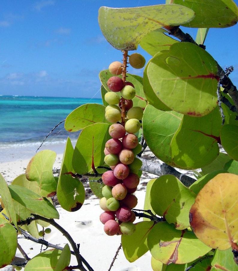 Sea Grape   Coccoloba uvifera   Organic   10 Seeds   Free US image 0
