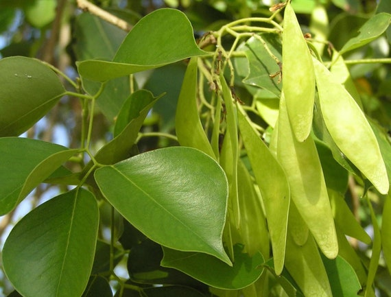 Dalbergia sissoo India Rosewood sheesham wood 100 seeds