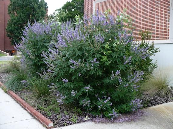 10 SEEDS LILAC CHASTE TREE Vitex Agnus castus FREE S/&H
