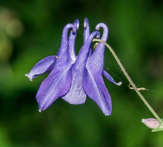 Purple Columbine Aquilegia Vulgaris 10 Seeds Free Us Etsy