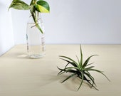 Tillandsia Velutina, Green Air Plant with Velvety Leaves