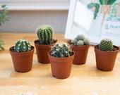 """2"""" Cactus Plant Assortment, Cactus Garden in a Box, Cactus Mix, Cactus Box, Assorted Cacti"""