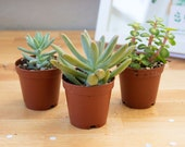 "2"" Succulent Plant Assortment, Succulent Garden in a Box, Succulent Mix, Succulent Box, Assorted Succulents"