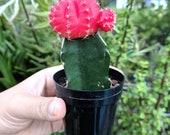 Bareroot Moon Cactus - Grafted cactus, Gymnocalycium mihanovichii - Color cactus, Fun cactus gift, pink cactus, purple cactus, red cactus