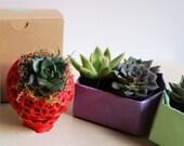 Small Rosette Succulent -...