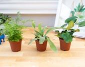 "2"" Fern Plant Assortment, Fairy Garden Plants in a Box, DIY Fairy Garden Fern Plants, Mixed Ferns Terrarium Plants Assortment"