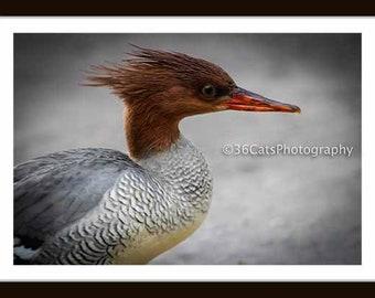 Scaly Sided Merganser - Chinese Merganser - Wildlife Nature Digital Photo - Instant Download