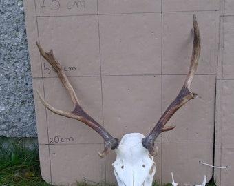 Red deer stag antlers and complete skull taxidermy home decor (Cervus elaphus)