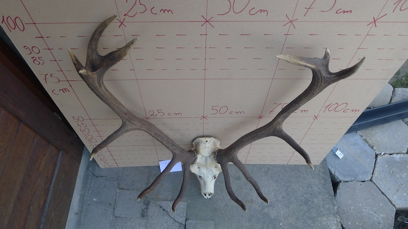 348 Large Red Deer Antlers Skull Great Taxidermy Shamanic Healing Ornament Wall Hanging Home Decor Gothic Design Halloween Real Collectible