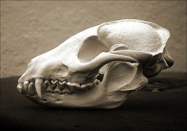 100/% Real Racoon Dog Skull Taxidermy Collectible Nyctereutes procyonoides