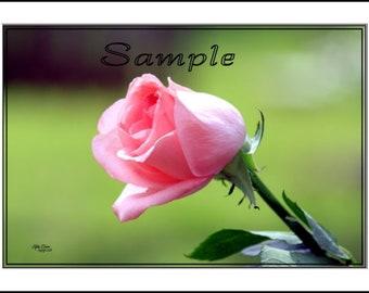Pink Rose Fine Art Photo Card